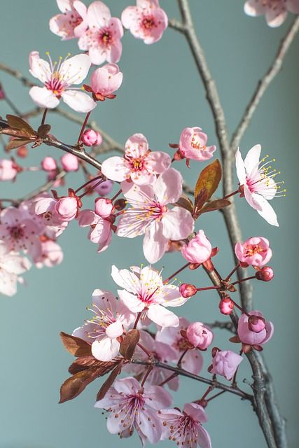 Kostenloses Bild auf Pixabay - Frühling, Blume, Natur, Kirschblüte