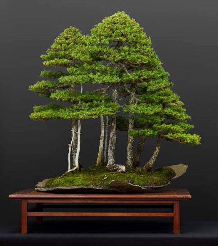 Bonsai Forest, Bonsai Books, Bonsai Tools, Green T | Bonsai Bark