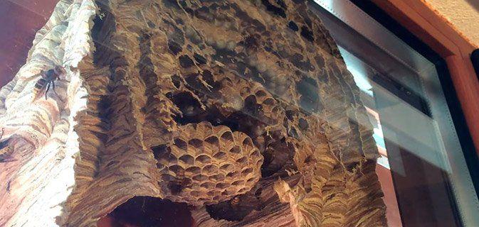 Isso é como um ninho de vespas se parece por dentro!