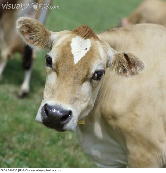 Jersey Cow. Look at that face, just look at it.