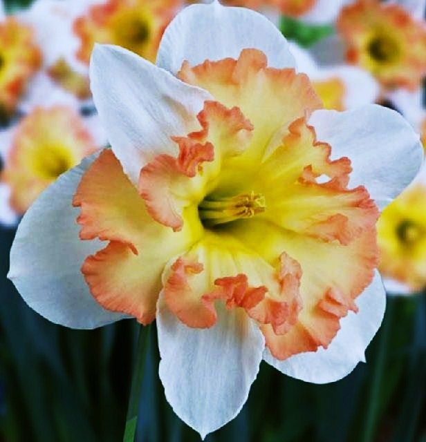 64 best Flowers ... Daffodils images on Pinterest ...