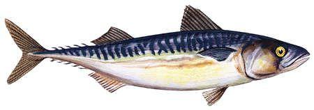 Atlantic mackerel (Scomber scombrus)