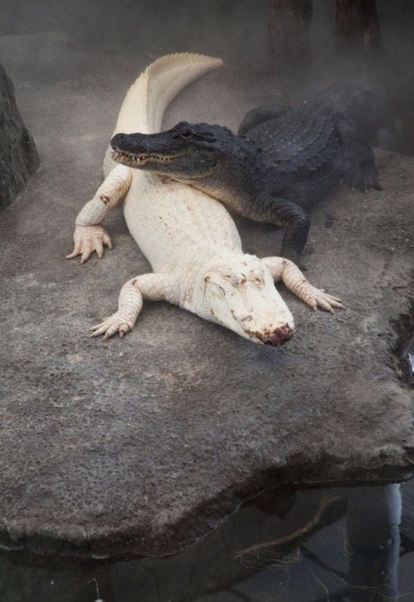 The Albino Crocodile