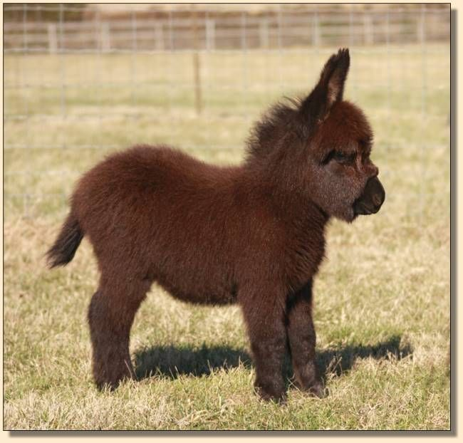 Miniature Donkey Geldings We Have Sold at HAA Miniature Donkey Farm