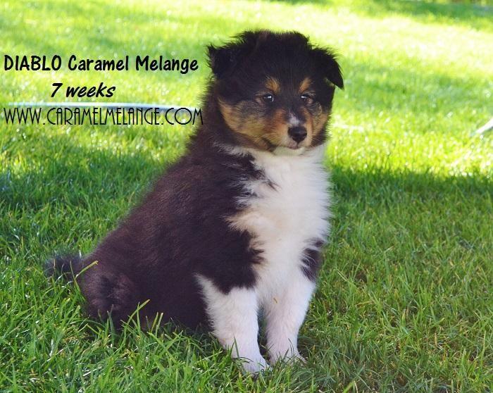 owczarek szetlandzki sheltie rodowodowe puppies www.caramelmelange.com