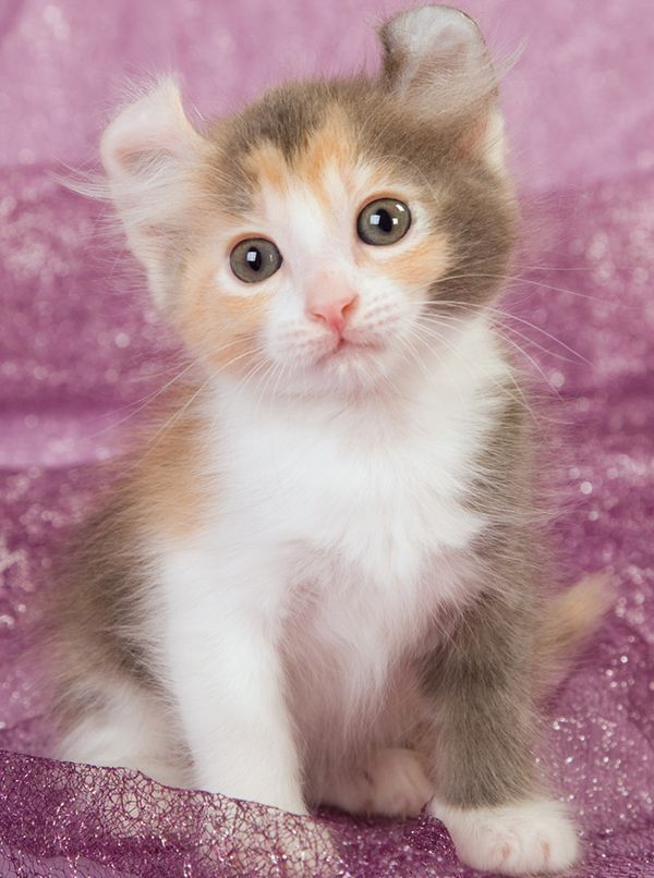 20 Most Affectionate Cat Breeds In The World American Curl Ideas Of American Curl Americancurl American Curl Most A With Images Cat Breeds American Curl Cat Furry