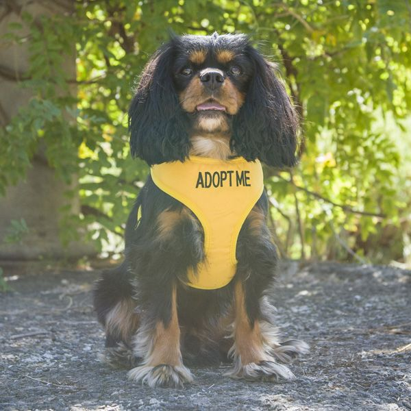 Let Others Know That Your Foster Dog Is Looking For Their Forever Home In Our Adopt Me In Our Adjustable Vest Harnesses Available In 4 S Foster Dog Dog Harness