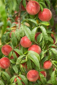 """dwarf red haven peach:  It's critical that you purchase a peach tree that is already """"branched"""". This is where the nursery prunes its young trees back to promote more branches. More branches mean more fruit - earlier production - stronger limbs and a healthier tree.     Red Haven peach trees are normally planted in pairs so they can pollinate each other. This pollination causes your trees to produce more fruit. We recommend cross-pollinating your Red Haven with the Elberta Peach Tree."""