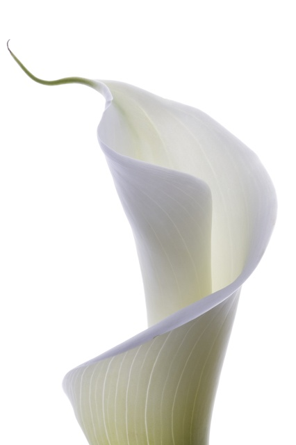 Ann Grini Photography | Flowers    Cala Lilly. Part of my Flowers-project.