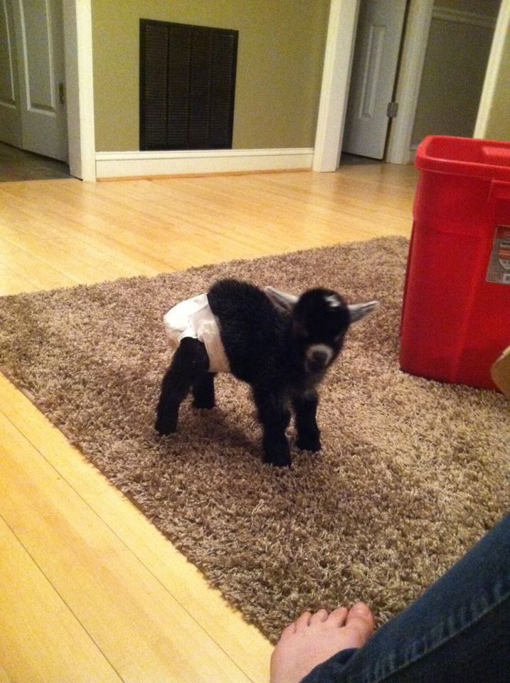 just a baby pygmy goat kid wearing a diaper