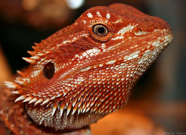 Blood Red Bearded Dragon | Rupert, Super Red Bearded Dragon - an album on Flickr