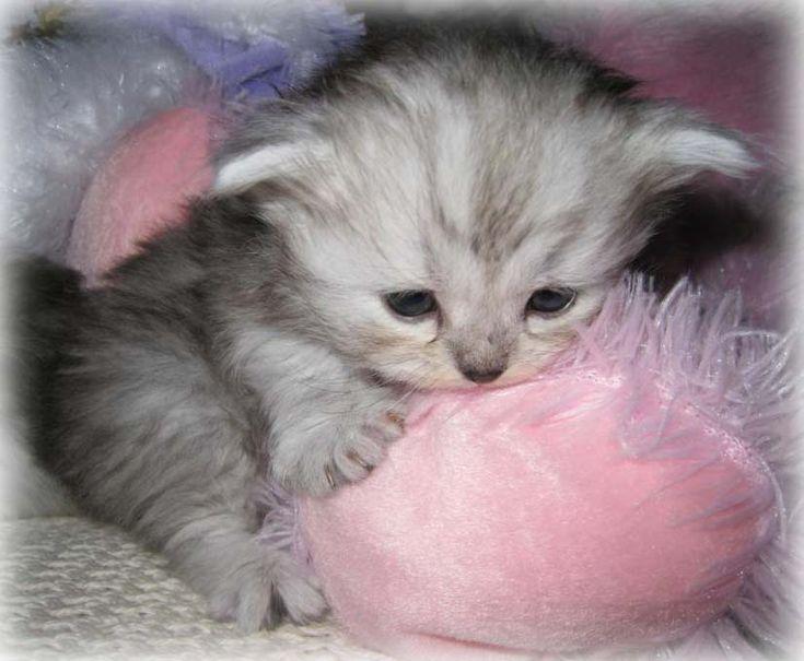 cute teacup kittens | teacup kittens, napoleons, lambkins, minipaws, minipers