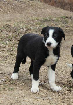 Border Collie puppy for sale in MANSFIELD, MO. ADN-22817 on PuppyFinder.com Gender: Male. Age: 8 Weeks Old