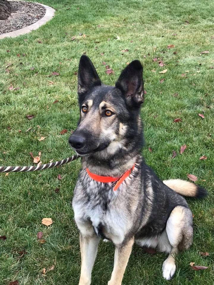 Adopt Diesel On Dogs German Shepherd Rescue Animals