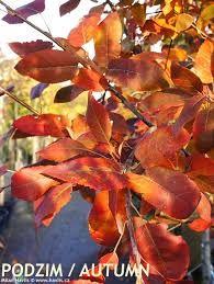Bildresultat för amelanchier arborea robin hill