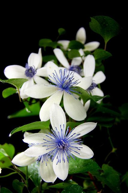 Clematis akoensis | Flickr: Intercambio de fotos