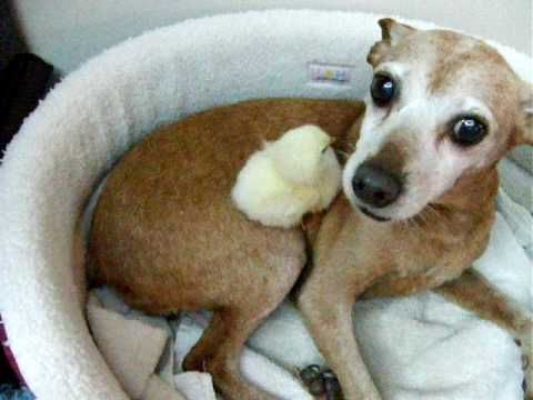 This gentle dog is tending a baby chick. They are good friends.