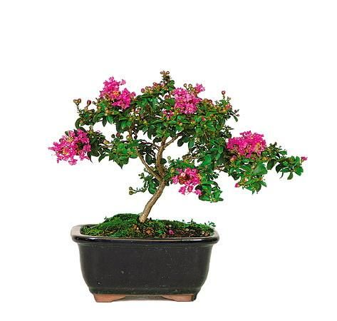 Bonsai Care Bonsai Tree Care  A Practical Beginners Guide To Bonsai Gardening Indoor Trees House Plants Small Trees