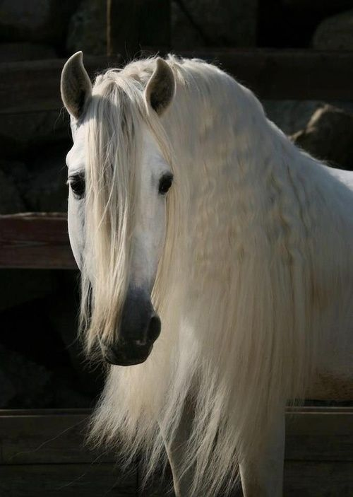 white horse, long mane...