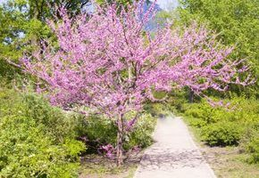 How to Care for a Redbud Tree thumbnail