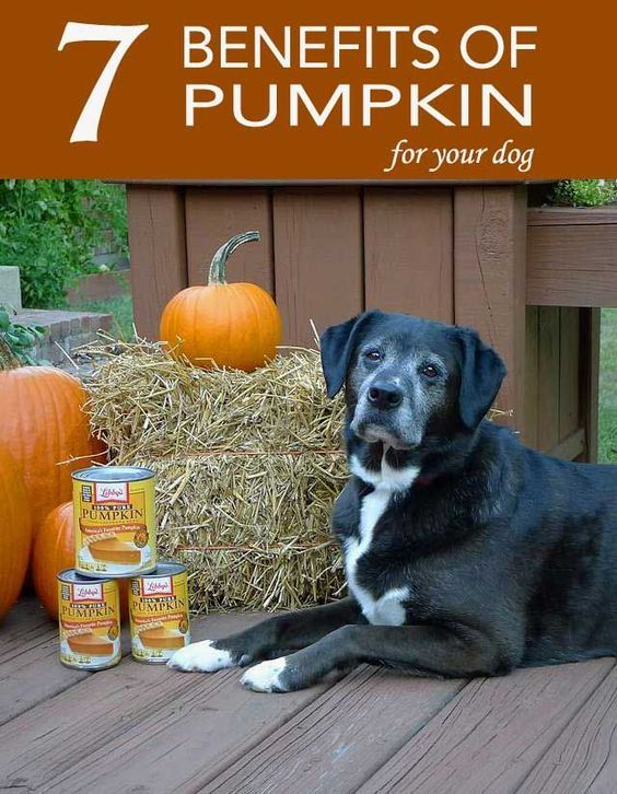 Pumpkin is not just a digestive superfood for dogs. Check out these other benefits too! #dogs #nutrition #doghealth