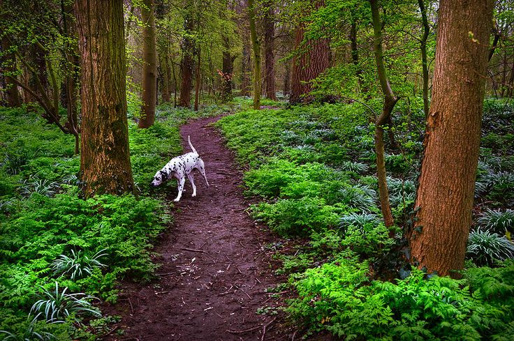 Dalmatian In The Spring Woods by Jenny Rainbow fine art prints for home decor. Beautiful inspiring woods in Rhoon (Netherlands) with Dalmatian dog Kokkie exploring the new place. Prints available as canvas, framed, metal, acrylic and wood prints. To start shopping just click on image. Order online,delivery, 30 days money back guaranty. #JennyRainbowFineArtPhotography.