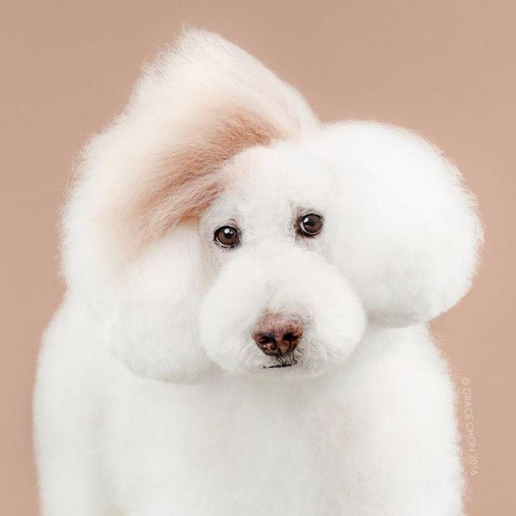 Kutyák kozmetika előtt és után | Fotó: gracechon.com via thisinsider.com
