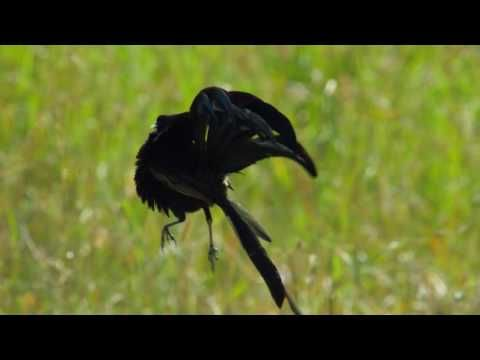 Widowbird Jumping Competition - Planet Earth II - YouTube