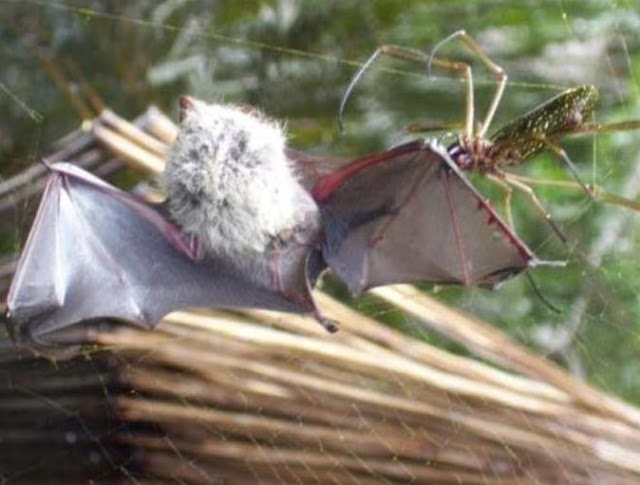 Arañas que comen murciélagos Un estudio científico que acaba de publicar Plos One ha recopilado 50 casos en los que murciélagos en todo el mundo son capturados por arañas.