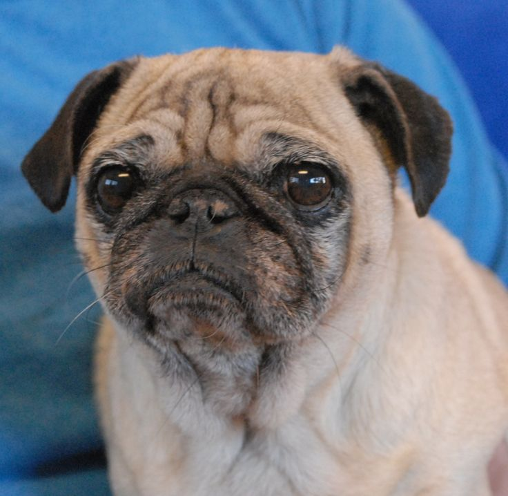 pug puppy adoption the 25 best pugs for adoption ideas on pinterest facts 433