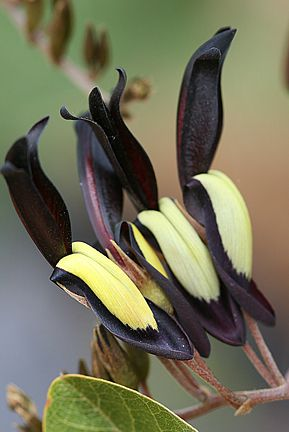 "Kennedia nigricans  (aka Kennedya nigricans)  ""Black Coral Pea""  vine, tolerates clay soil, drought tolerant  // Great Gardens & Ideas //"