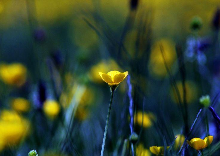 Photo Buttercups 3 by Adam Goodman on 500px
