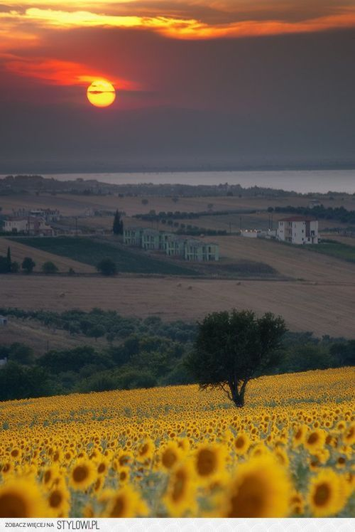 Sunflowers and Italy, the two greatest things in the world