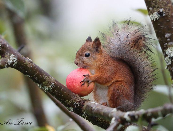 Kuvahaun tulos haulle orava