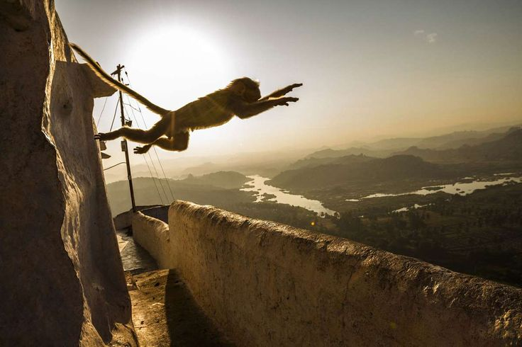 """Hanuman."" A monkey flies across the top of a temple dedicated to the Hindu monkey-god, Hanuman, nea... - Par Parekh / 2017 National Geographic Nature Photographer of the Year"