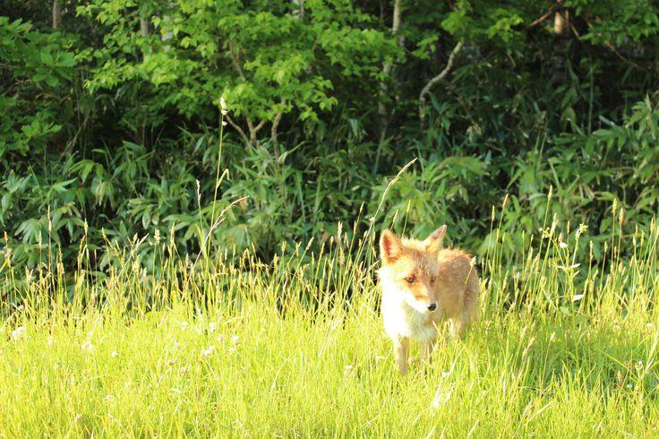 fox(kitakitsune)
