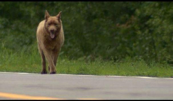 Κάθε μέρα αυτός ο σκύλος περπατά 6,5 χλμ. - Όταν μάθετε το λόγο, θα…