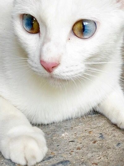 Startled Cats Attack: I've never seen this particular type of Heterochromia in a cat.