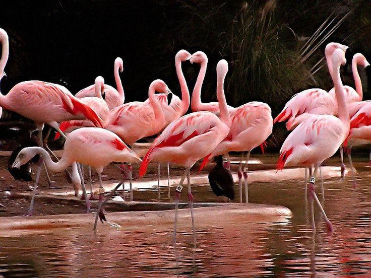 Imágenes De Flamencos Rosados