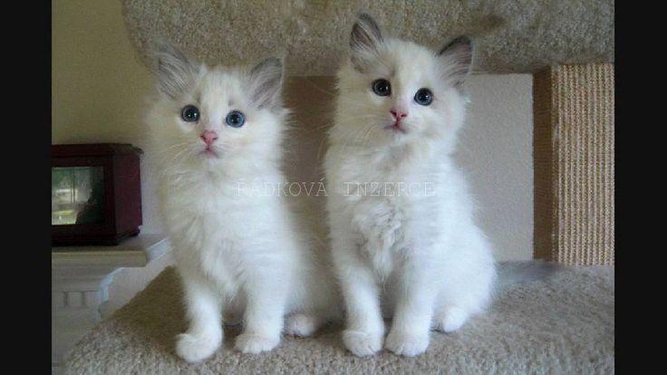 Řádková inzerce   Kočky a koťata