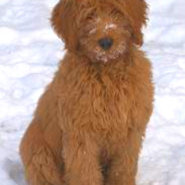 Beautiful Labradoodle Anime Adorable Dog - 92c4c9b3b78a91c6b5df3839d6e77e88--golden-labradoodle-labradoodle-dog  Gallery_805242  .jpg
