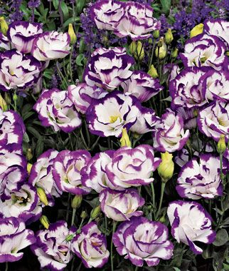 Lisianthus, Balboa Blue Rim  Heat-loving annual with beautiful, rose-like flowers. Lisianthus are native to the American Southwest and this improved variety from Central America is taking gardens by storm.