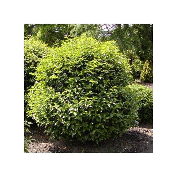 Les 25 meilleures id es de la cat gorie arbuste persistant sur pinterest arbuste persistant - Arbuste persistant haie ...