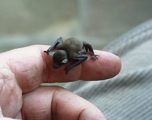 HE BUMBLEBEE BAT - the incredible bumblebee bat is the SMALLEST mammal in the world, weighing about the weight of a penny. It is listed in the TOP 12 MOST endangered list.