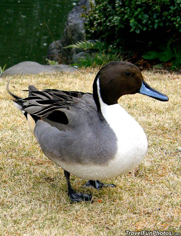 Northern Pintail - anas acuta - wide geographic distribution, breeds in the northern areas of Europe, Asia and North America. It is migratory and winters south of its breeding range to the equator.