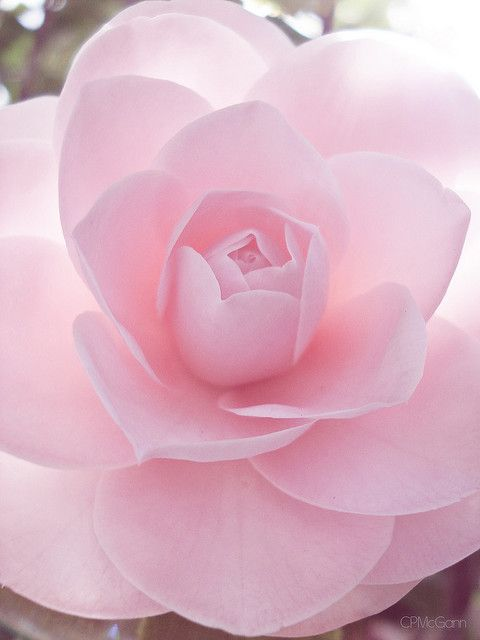 Camellia.... this is so beautiful, it looks as though it could not be real....such perfection !
