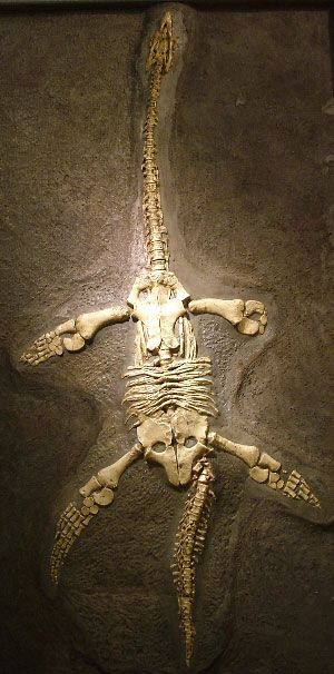 Plesiosaurus hawkinsi: Cast of juveile animal, found in Somerset