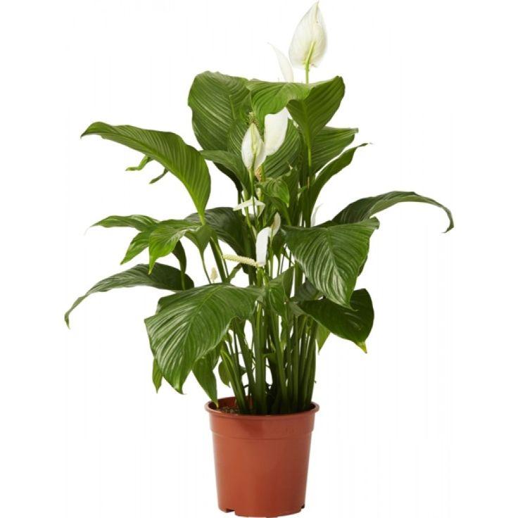 Fredskalla 'Sweet Lauretta' - Frodig grön växt med vackra vita blommor. Effektiv luftrenare. Klarar ljus-skuggig placering, också en bit in i rummet. Ljus växtplats ger fler blommor. Trivs i jämnt fuktig jord.
