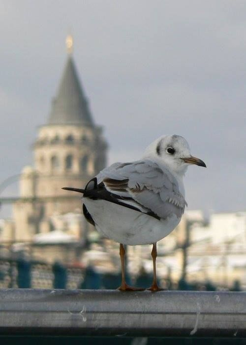 Kuşlar ve İstanbul - Galata Kulesi