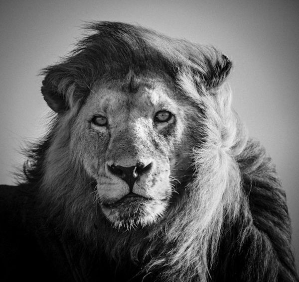 Top 50 des plus belles photos d'animaux d'Afrique par Laurent Baheux, un séjour en terre de lions